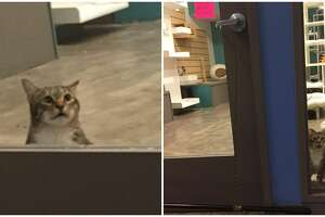 Quilty is a clever (albeit criminal) Houston-area shelter cat that has caught the eyes and hearts of thousands of people after a Facebook post about his antics went viral.