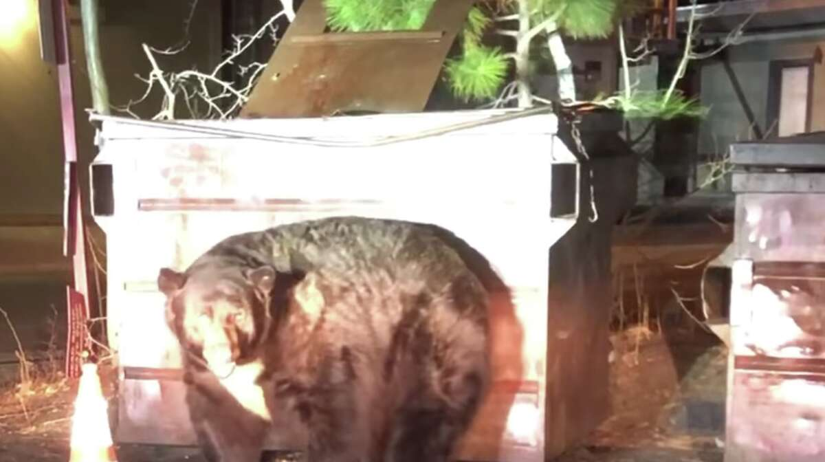 A bear named T-Shirt has been making his rounds in the Tahoe area, most recently after getting stuck in a dumpster.