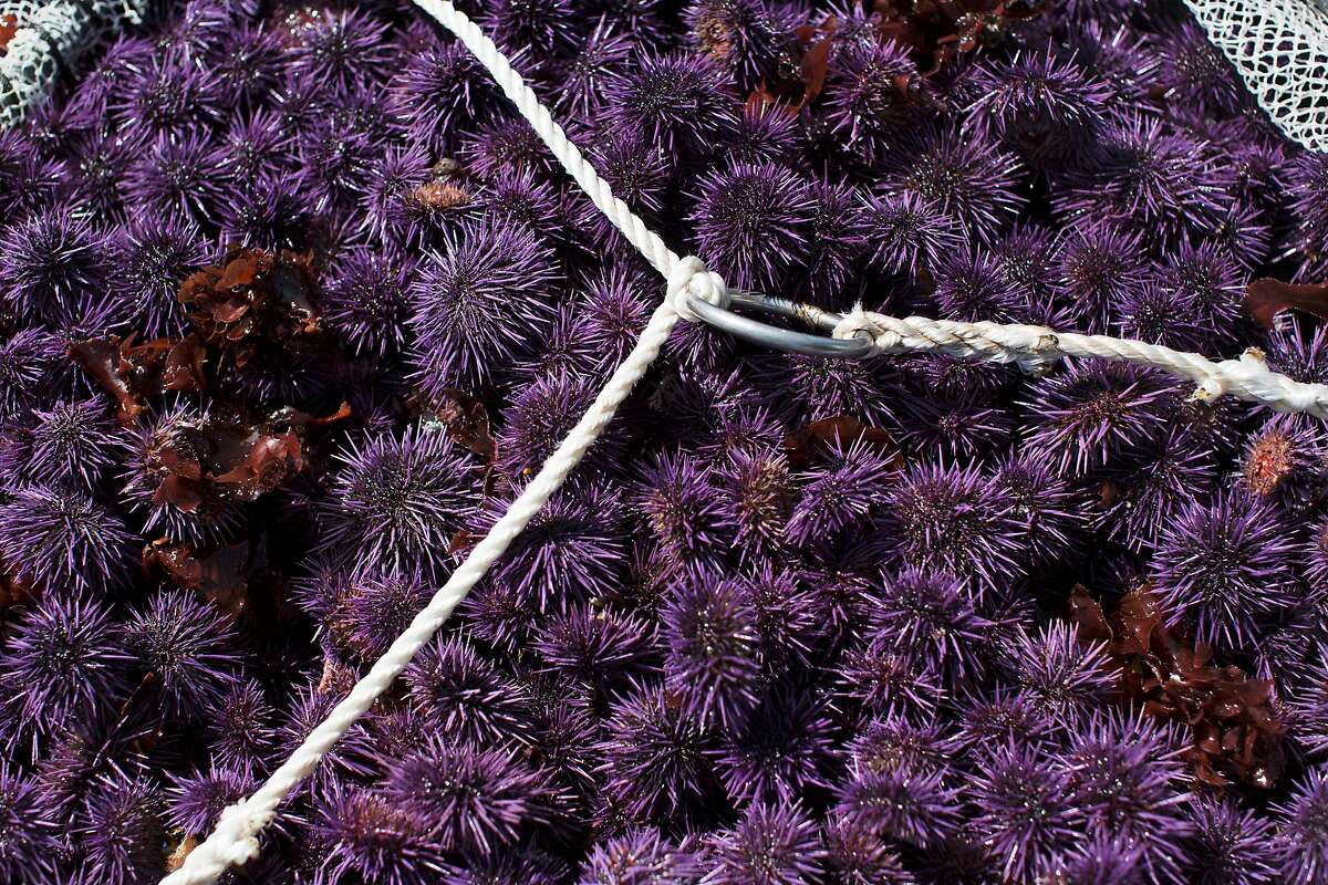 A net filled with purple sea urchins lays on Jon Holcomb's boat in the water near Fort Bragg, Calif. Northern California's recreational red abalone season has been closed because of dwindling populations. Funding through diving associations has been secured for professional divers to remove the invasive purple sea urchin from sections of Northern California's coastal waters in an attempt to jump start the growth of kelp and reignite the red abalone population.