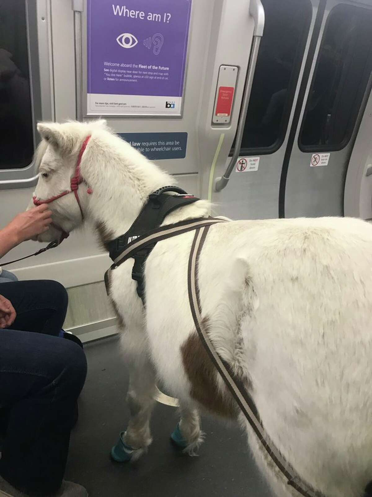 A miniature horse named Sweets was seen riding BART on Tuesday afternoon.