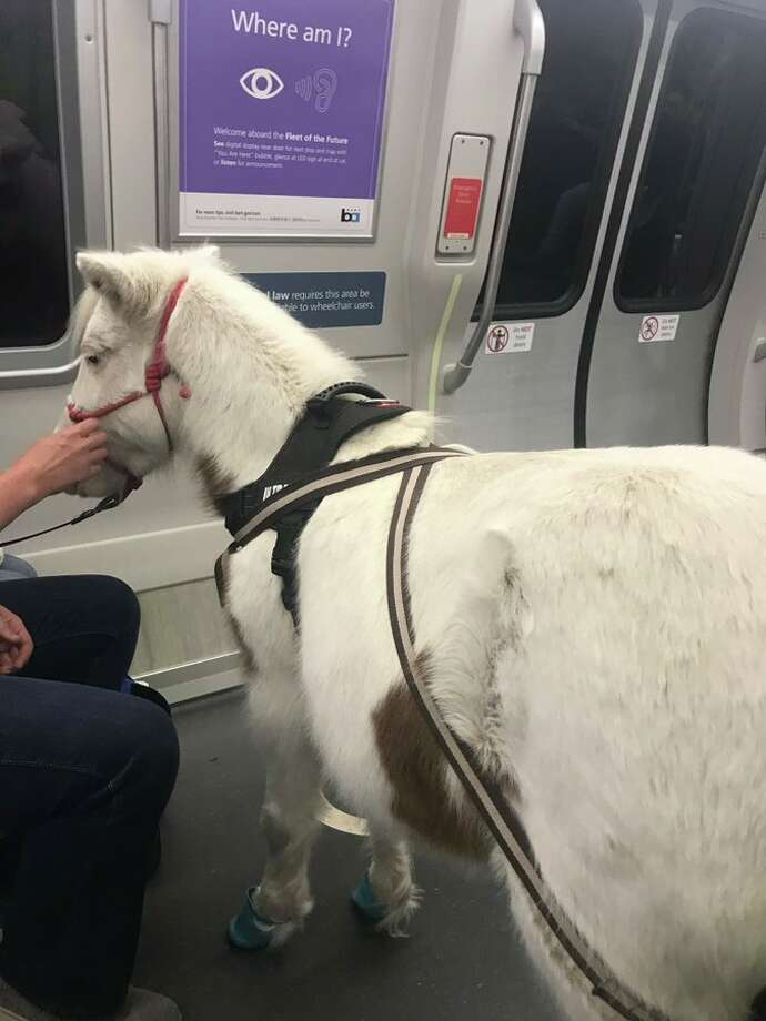 A miniature horse named Sweets was seen riding BART on Tuesday afternoon. Photo: Louis Rodrigues ,  @rodrlou Via Twitter