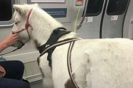 A miniature horse was seen riding BART on Tuesday afternoon.