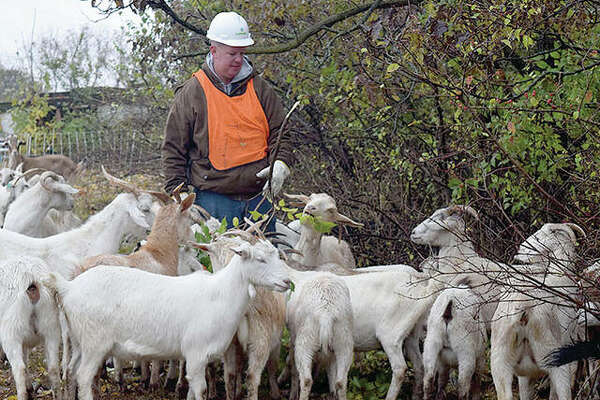 Farmer Dustin Ellinger feeds his goats vegetation in an Ameren right-of-way in rural Hillview.