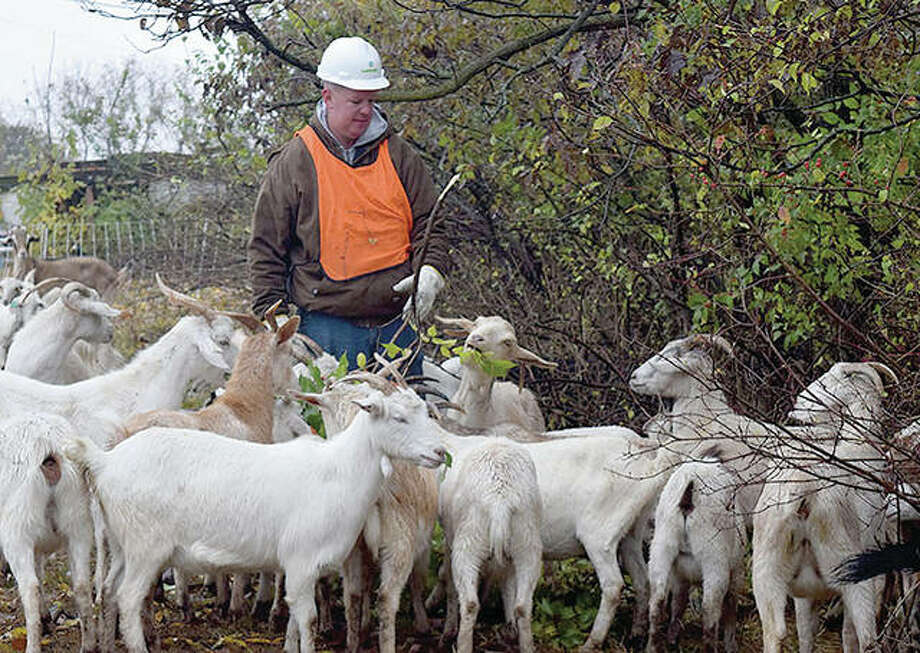Farmer Dustin Ellinger feeds his goats vegetation in an Ameren right-of-way in rural Hillview. Photo: Rochelle Eiselt | Journal-Courier