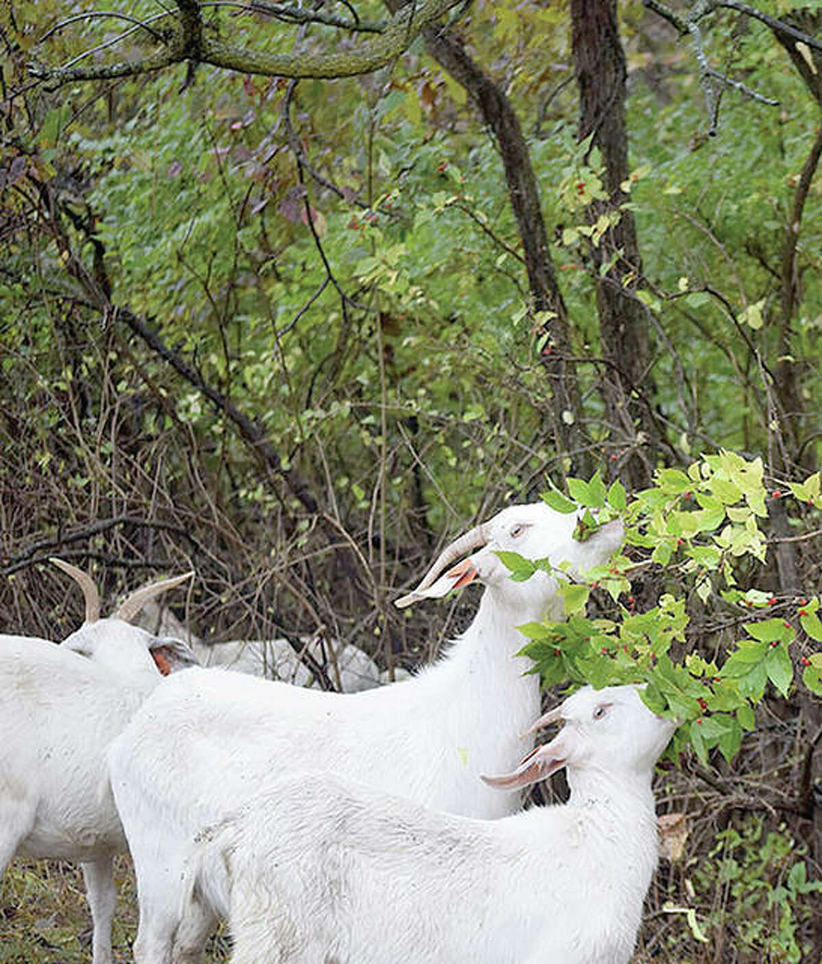 Goats munch on the leaves of a bush while clearing vegetation in an Ameren right-of-way.
