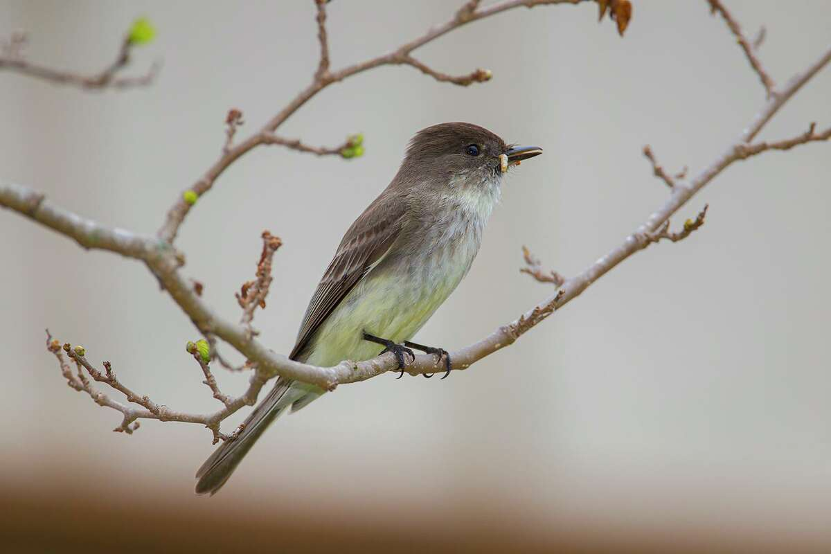 Eastern Phoebe can be found along the Texas coast in the winter. They feed on many types of insects.