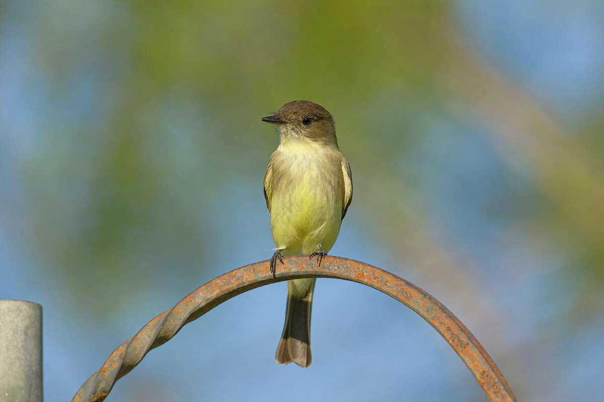 Eastern Phoebes become relatively common during winter along Texas coastal regions all the way to the Rio Grande Valley.