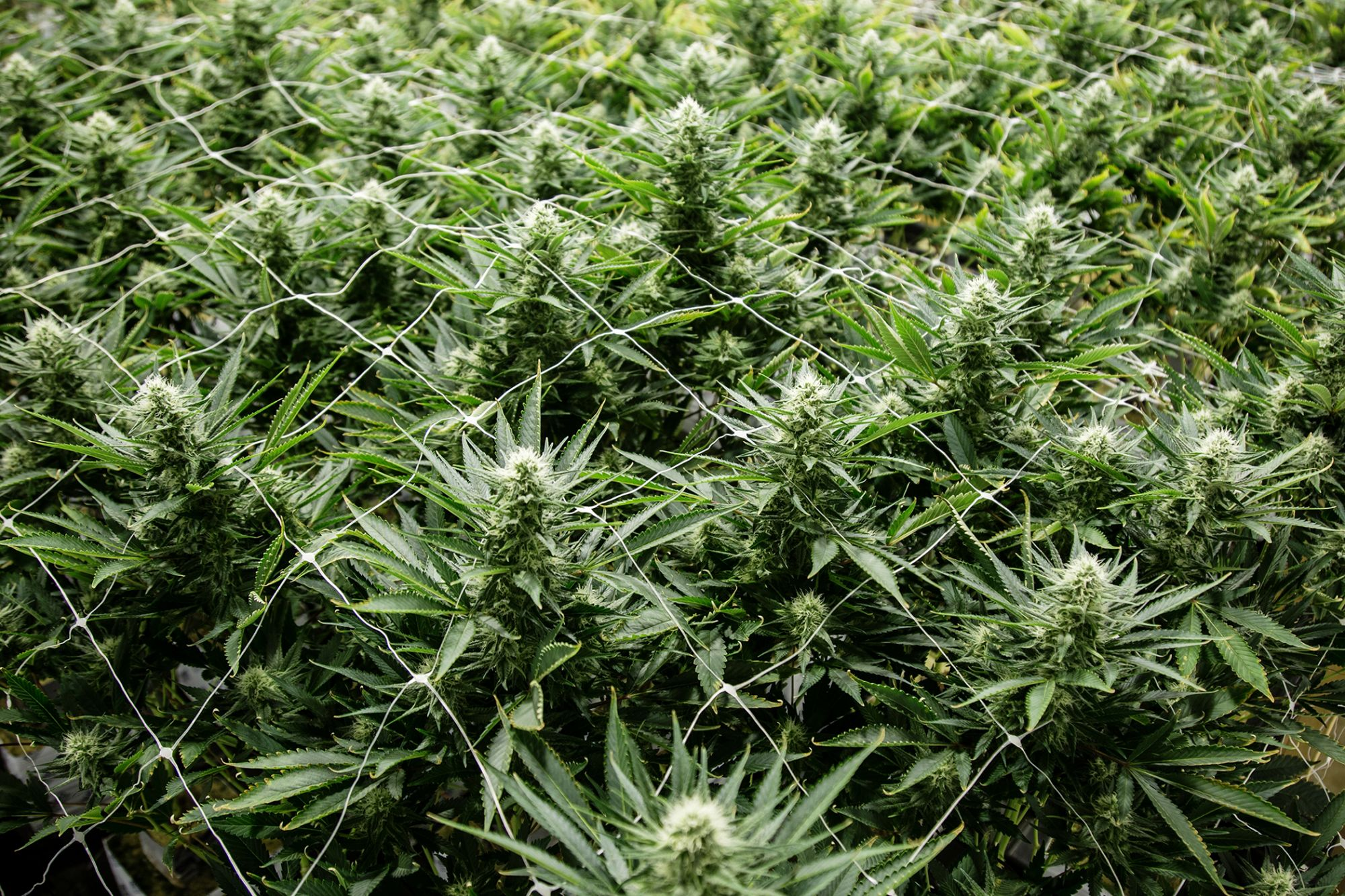 Cannabis chemistry: What to know about evaporation post-harvest