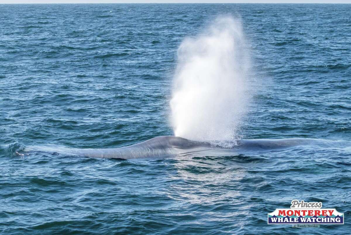 Blue whales have been seen late in the season in large numbers in Monterey Bay. These pictures were taken on Nov. 5, 2019.