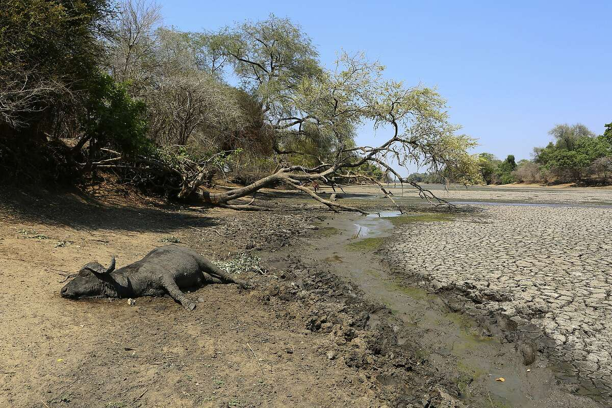 In this Oct, 27, 2019, photo, the carcass of a buffalo lies on the edges of a sun baked pool that used to be a perennial water supply in Mana Pools National Park, Zimbabwe. Elephants, zebras, hippos, impalas, buffaloes and many other wildlife are stressed by lack of food and water in the park, whose very name comes from the four pools of water normally filled by the flooding Zambezi River each rainy season, and where wildlife traditionally drink. The word