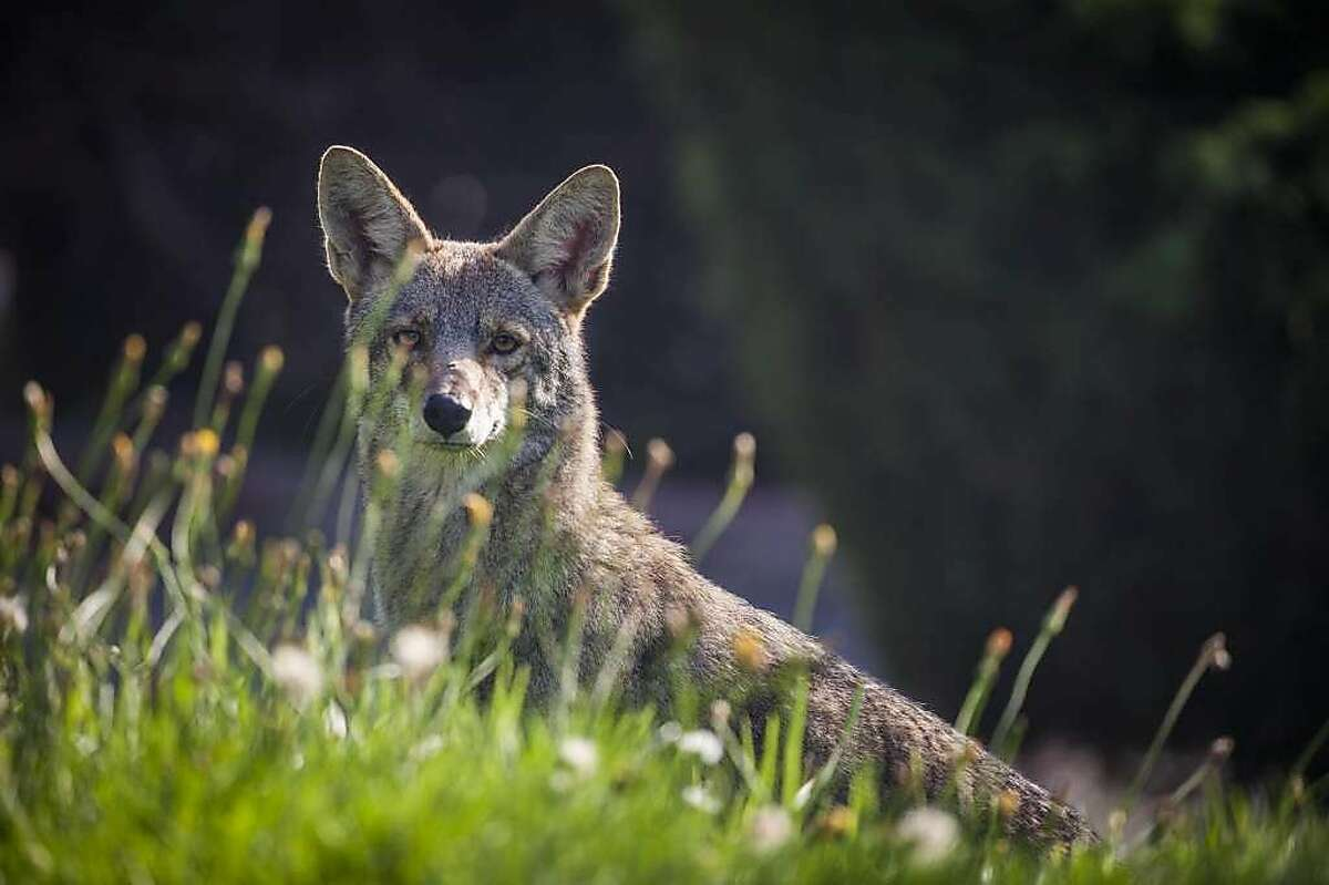 Consider a fenceFencing may deter coyotes. Proper well-maintained fencing can keep coyotes away from pets and people.