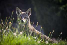 Consider a fence�Fencing may deter coyotes. Proper well-maintained fencing can keep coyotes away from pets and people.