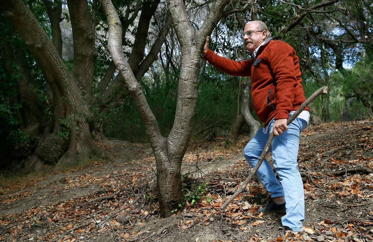 UC Berkeley professor and sudden oak death expert Matteo Garbelotto examines the trunk of a coast live oak infected with the disease above Centennial Drive in Berkeley, Calif. on Wednesday, Nov. 6, 2019. The tree was likely infected by the California bay laurel (upper left). The number of trees infected by the sudden oak death disease have nearly doubled in one year.