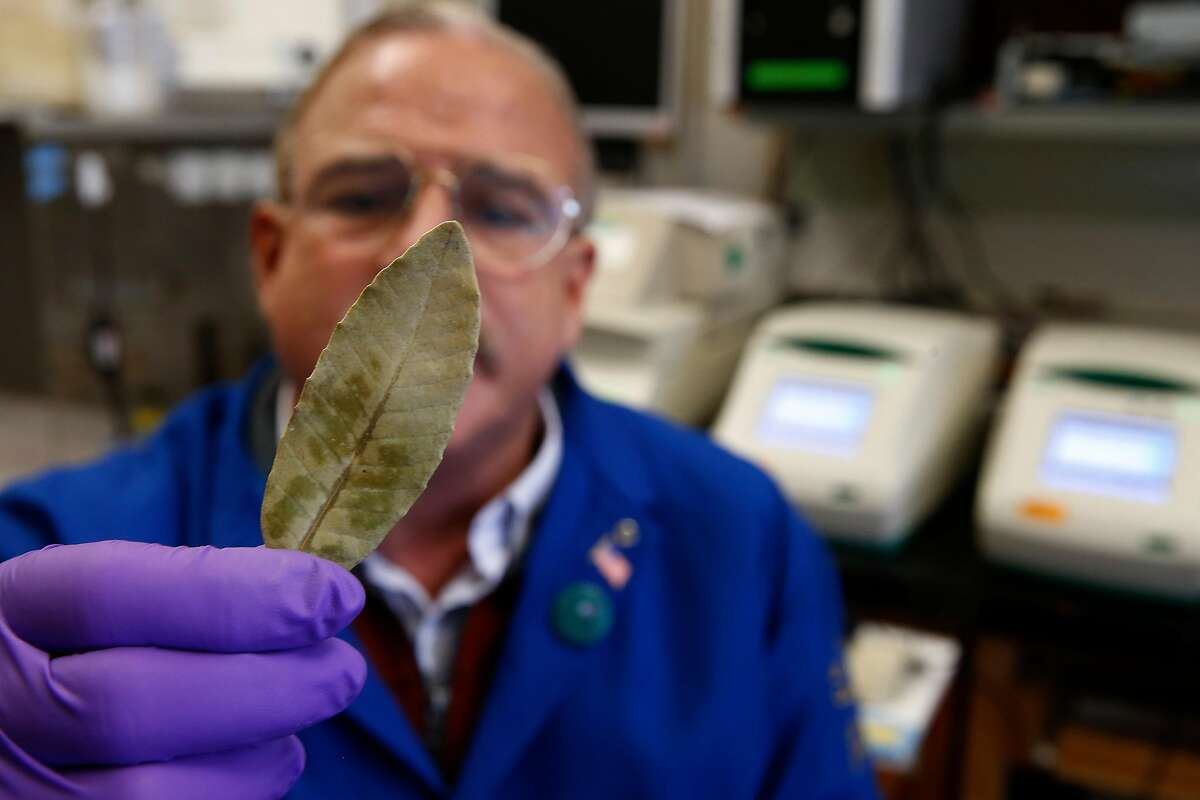 Sudden oak death expert Matteo Garbelotto examines a leaf from a tan oak tree carrying the sudden oak death pathogen in his lab at UC Berkeley on Wednesday, Nov. 6, 2019. The number of trees infected by the sudden oak death disease have nearly doubled in one year.