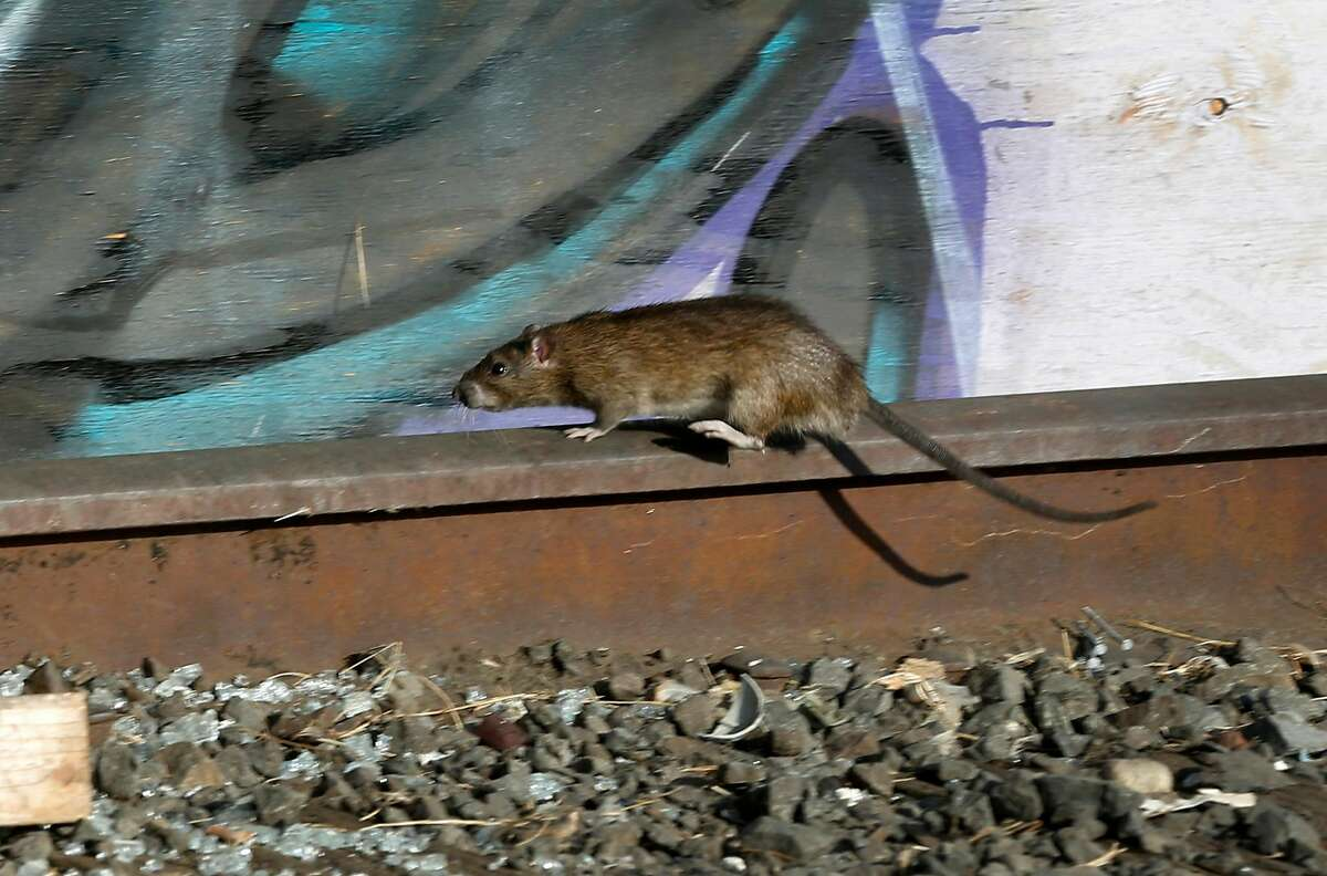 A rat scurries through a homeless encampment on Wood Street in Oakland, Calif. on Tuesday, Nov. 5, 2019. Oakland officials have begun clearing out abandoned cars, motor homes and forcing the residents to leave in an overall effort to completely clear the lot and turn it into a safe parking zone.