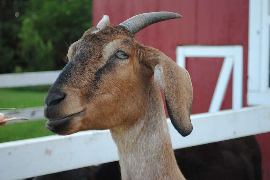 Uroliths have many names, but their presence in livestock animals is a serious condition. Photo: Texas A&M University, Nanny Billy Pet Goat Ram Billy-goat Farm / Https://www.maxpixel.net/ / Copyright by MaxPixel