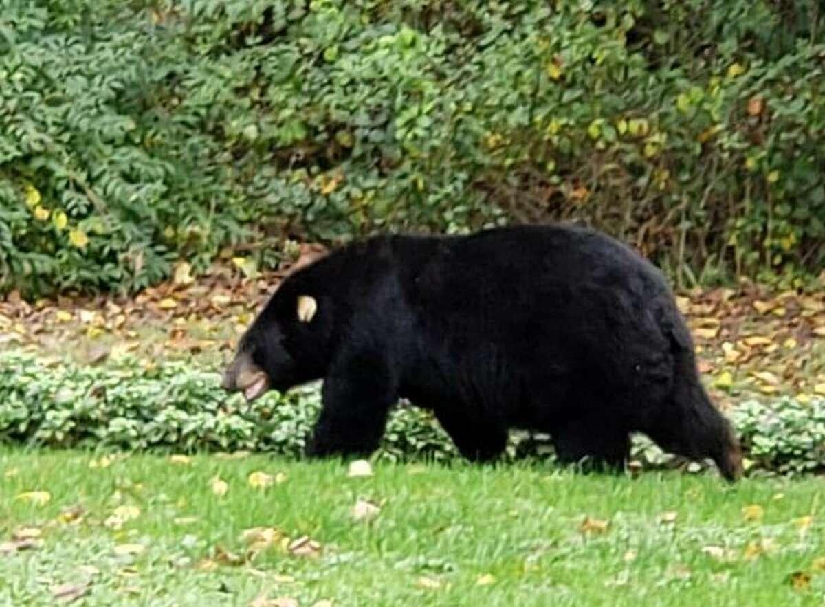 Bear wandering through a Newtown yard last month.