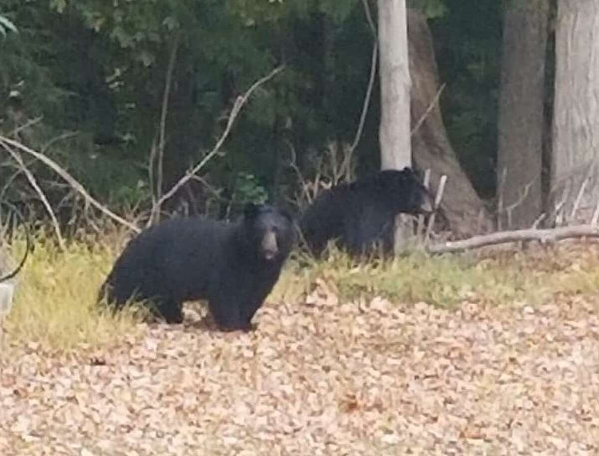 One Newtown resident snapped this picture of two bears in her backyard last month.