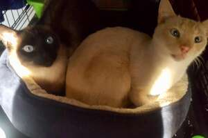 Royce (right), a flame-point Siamese, made headlines when he climbed a tree in San Mateo and stayed there for four straight days. He and his brother Bentley were abandoned by their family. Here they are show back together again. (Nov. 8, 2019)