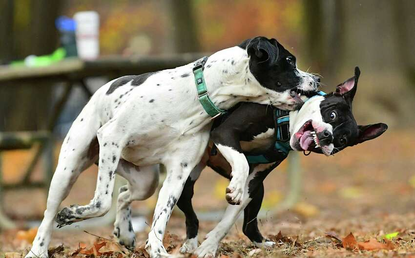 Dogs Koda, left, and Cali play in the dog park on Friday, Nov. 8, 2019 in Saratoga Springs, N.Y. (Lori Van Buren/Times Union)