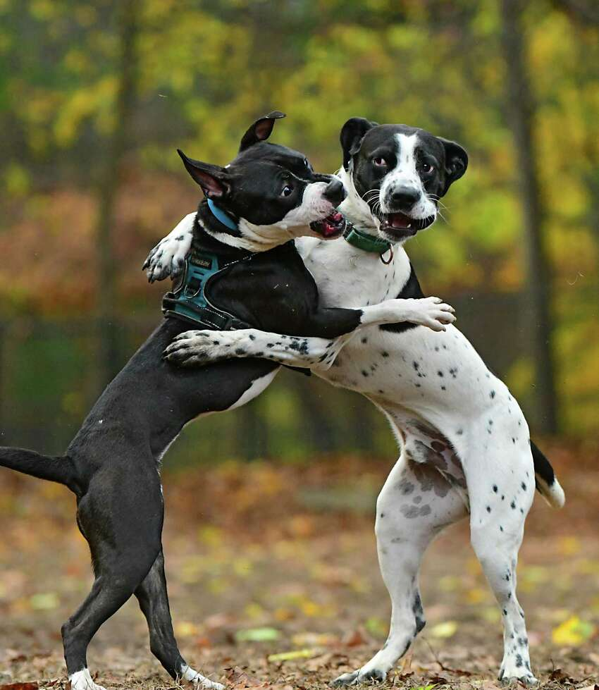 Dogs Cali, left, and Koda seem like they're dancing as they play in the dog park on Friday, Nov. 8, 2019 in Saratoga Springs, N.Y. (Lori Van Buren/Times Union)