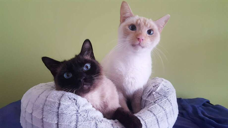 Siamese litter mates Royce (right) and Bentley are back at the Give Me Shelter Cat Rescue in San Francisco after they were abandoned by their owners. Royce was the cat that sat in a tree in San Mateo for four days. (Nov. 8, 2019) Photo: Give Me Shelter Cat Rescue