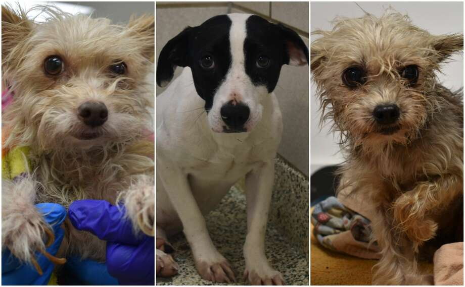 Fifteen dogs and three cats recently seized from a southeast Houston home were found tethered to stakes in the ground without access to adequate shelter or water. Officials believe the animals were left helpless for weeks on end during recent cold fronts and rainstorms. Photo: Courtesy Houston Humane Society
