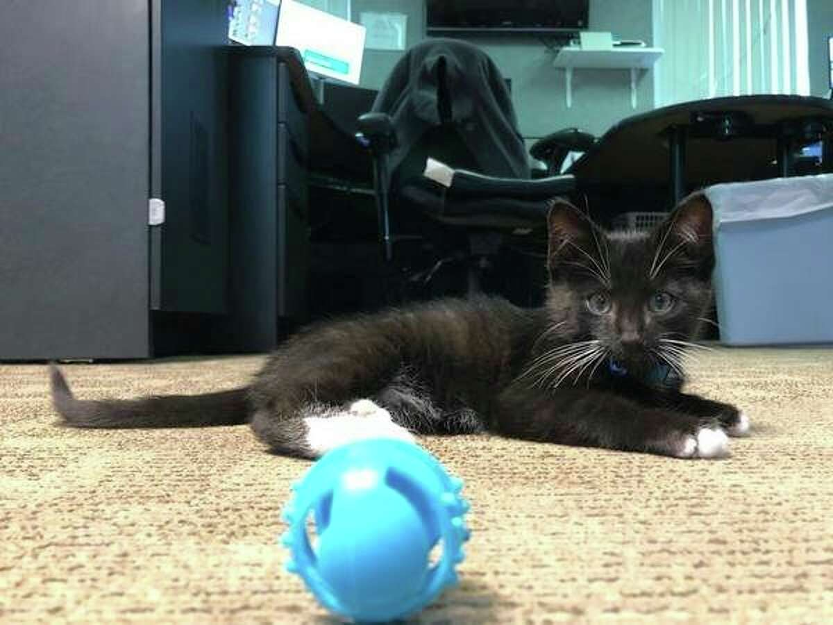 Chief was found by the Meceola Central Dispatch Center a few weeks ago. According to Meceola Central Dispatch Supervisor Debbie Ruiz, the employees love having the kitten around during work hours, noting playing with him has been a great stress-reliever. (Courtesy photo)