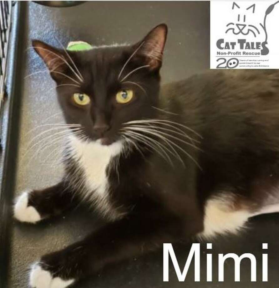 "Mimi is a 1-year-old black and white female. She says, ""When I came to Cat Tales I was very pregnant and soon delivered 7 kittens. They have grown up healthy and happy and are now ready to be adopted, so now it's time for me to find a home of my own. I am a very affectionate kitty who loves to be petted and cuddled. It is unsure if I can get along cat-friendly dogs, but if introduced properly I might be OK. Won't you come to visit to see what a sweet kitty I am?"" Visit http://www.CatTalesCT.org/cats/Mimi, call 860-344-9043 or email: info@CatTalesCT.org. Watch our TV commercial: https://youtu.be/Y1MECIS4mIc Photo: Contributed Photo"