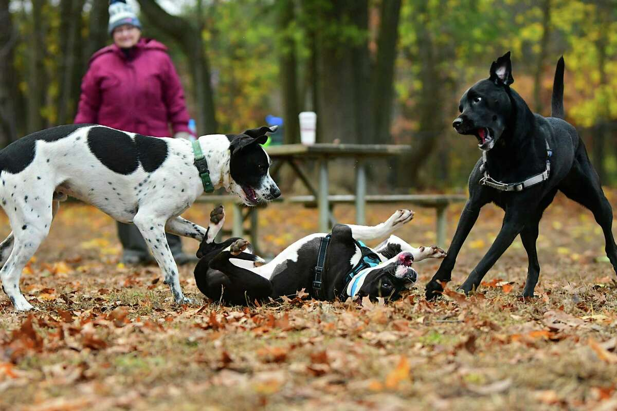 Dogs Koda, left, Cali, center, and Bella play in the dog park on Friday, Nov. 8, 2019 in Saratoga Springs, N.Y. Sharon Kohler, in background, was in town from Massachusetts visiting someone and took Bella to the dog park to get some exercise. (Lori Van Buren/Times Union)