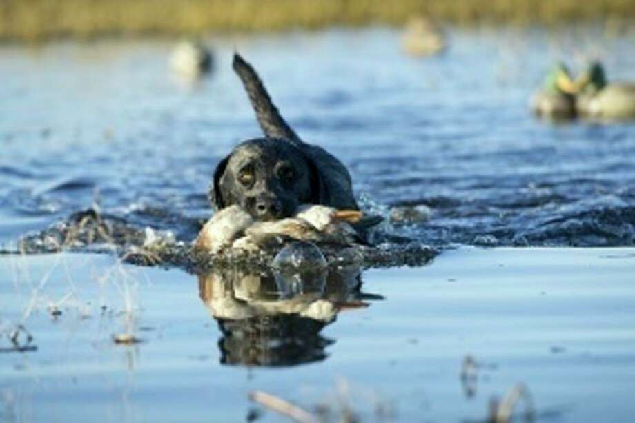 A black lab swims with a duck in its mouth. (Michigan DNR/Courtesy Photo) / 2011 State of Michigan