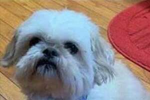 A white shih tzu has been missing since Nov. 7, 2019 and a volunteer dog recovery group is helping to look for him.