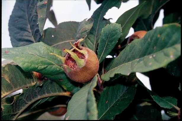 This undated photo shows medlar fruit in New Paltz, N.Y. You won't find fruits like persimmons, medlar and musk strawberries at most grocery stores. They're too ugly for commercial use. But they're delicious. And easy to grow in the backyard. (Lee Reich via AP)
