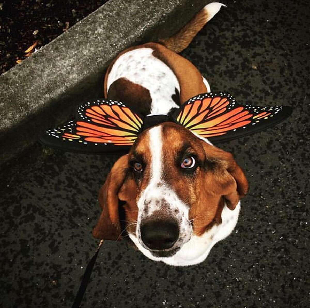 @reubenthebasset found a colorful costume for halloween.