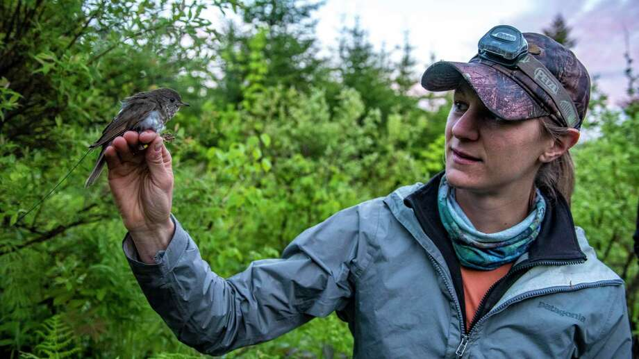 University of Maine grad student Kaitlyn Wilson with a Bicknell's thrush. Photo: Contributed Photo / University Of Maine