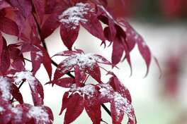 Snow gathers on Japanese maple leaves on Tuesday, Nov. 12, 2019, in Delmar, N.Y. (Will Waldron/Times Union)