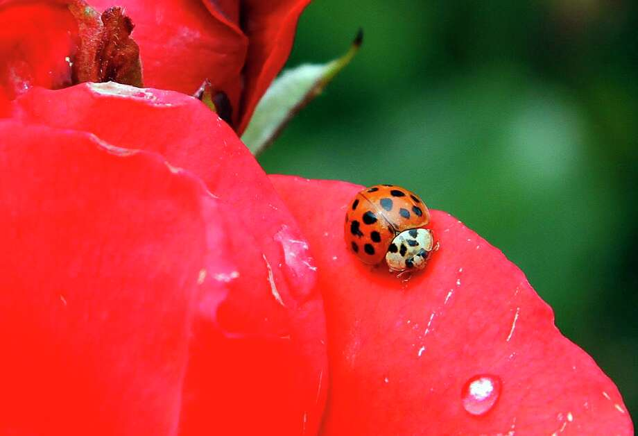 In this May 26, 2010 file photo, a Coccinellidae, more commonly known as a ladybug or ladybird beetle, rests on the petals of a rose in Portland, Ore. A study estimates a 14 percent decline in ladybugs in the United States and Canada from 1987 to 2006. Photo: Don Ryan, STF / Associated Press / 2010 AP