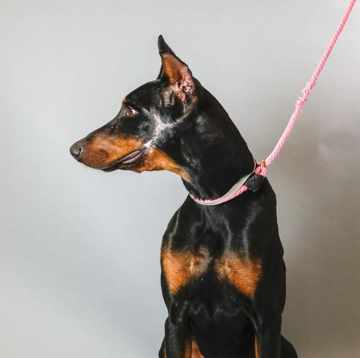 Ali (ID: 42944434) is a 3-year-old, male, Doberman mix available for adoption from the Houston Humane Society. Photographed, Tuesday, Nov. 12, 2019, in Houston. Ali was brought into the Humane Society after being seized from his home, as a result of his owner not seeking veterinary care for a very serious facial injury. He was treated by the vets in their wellness clinic, and received 40 stitches to repair his wound. It has taken him weeks to recover and now he is finally deemed ready to find his forever home. He knows how to sit, enjoys playtime, and walks well on a leash.