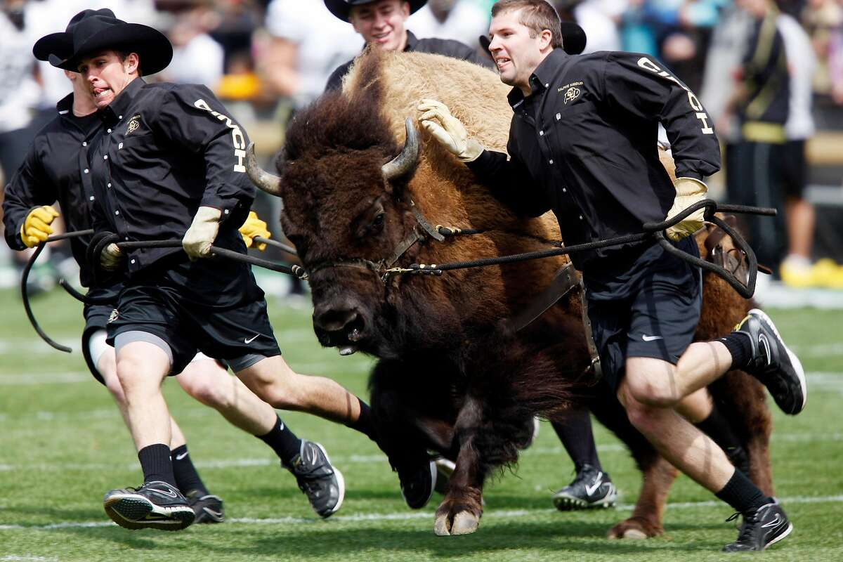 """FILE - In this April 20, 2010, file photo, handlers called """"Ralphie runners"""" guide Ralphie V, the mascot of the University of Colorado, around the surface of Folsom Field before an spring NCAA college football scrimmage in Boulder, Colo. (AP Photo/David Zalubowski, File)"""