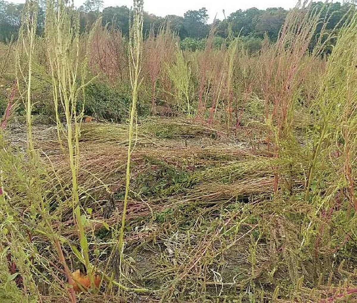 Connecticut Agricultural Experiment Station scientists have discovered a highly invasive and noxious species of pigweed in Connecticut.