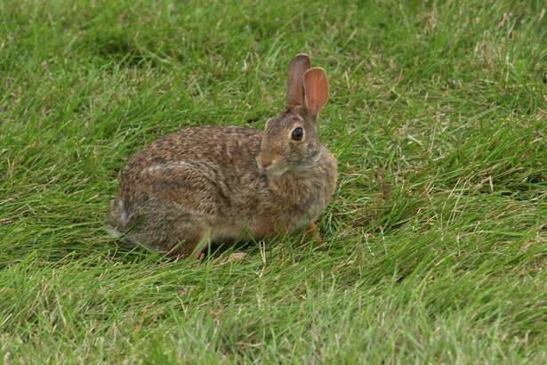 This eastern cottontail waits on the edge of some woods.  If they think you don't see them they will not move.