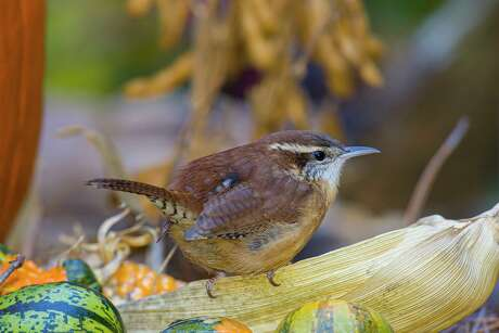 Carolina wrens are common garden birds who stay together during the non-breeding season. Photo Credit: Kathy Adams Clark Restricted use.