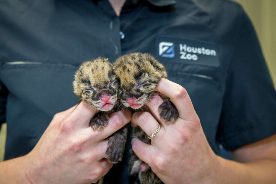 On Tuesday, the  Zoo's female Clouded Leopard gave birth to two cubs. Photo: Stephanie Adams/Houston Zoo