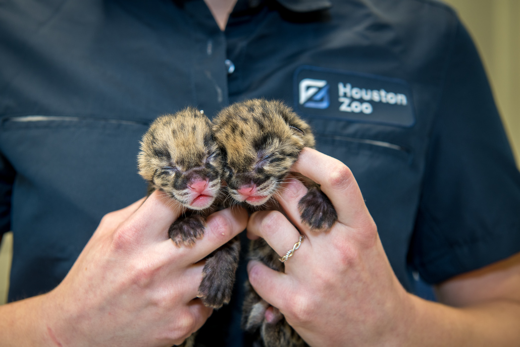 Houston Zoo welcomes pair of baby clouded leopards