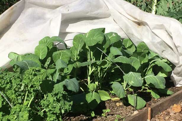 In late summer, the row cover protected kale and collard greens against pests. In November, the blanket insulates the plantings from frost.