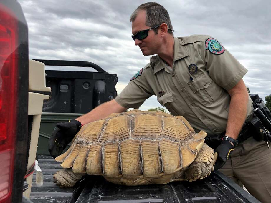 A large runaway tortoise was returned to his home after he was found 10 days later on a rural West Texas highway about a mile and a half away. Photo: Rita Frey