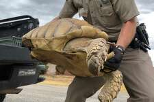 A large runaway tortoise was returned to his home after he was found 10 days later on a rural West Texas highway about a mile and a half away.