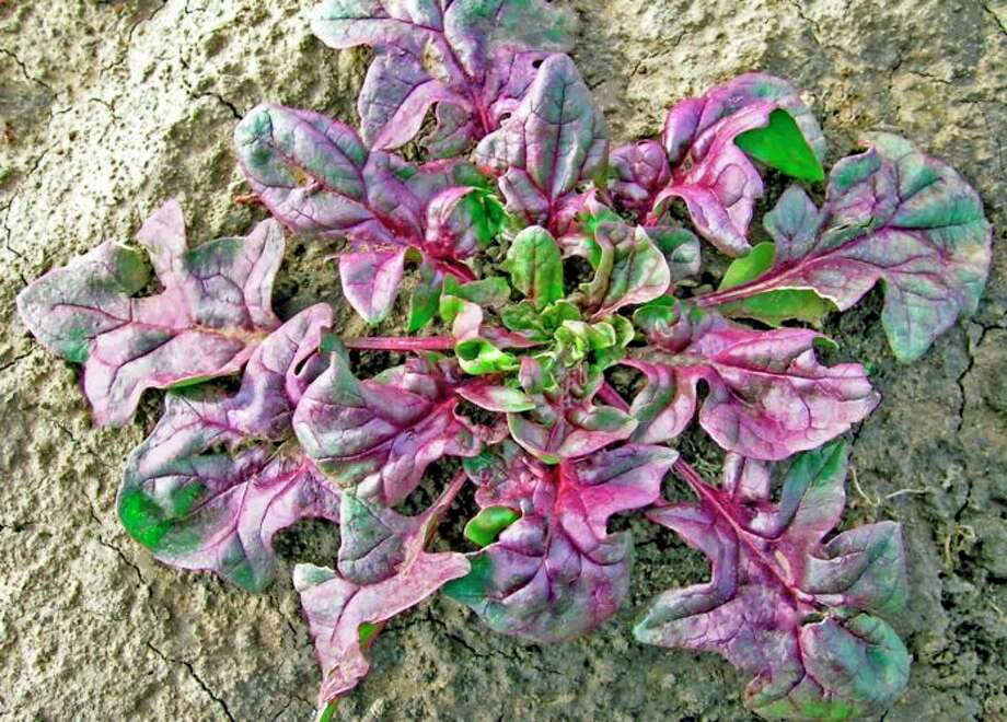 The world's first-ever variety of red spinach is being grown in Salinas–and it just might be the next superfood trend. Photo: Courtesy Of Beiquan Mou, USDA
