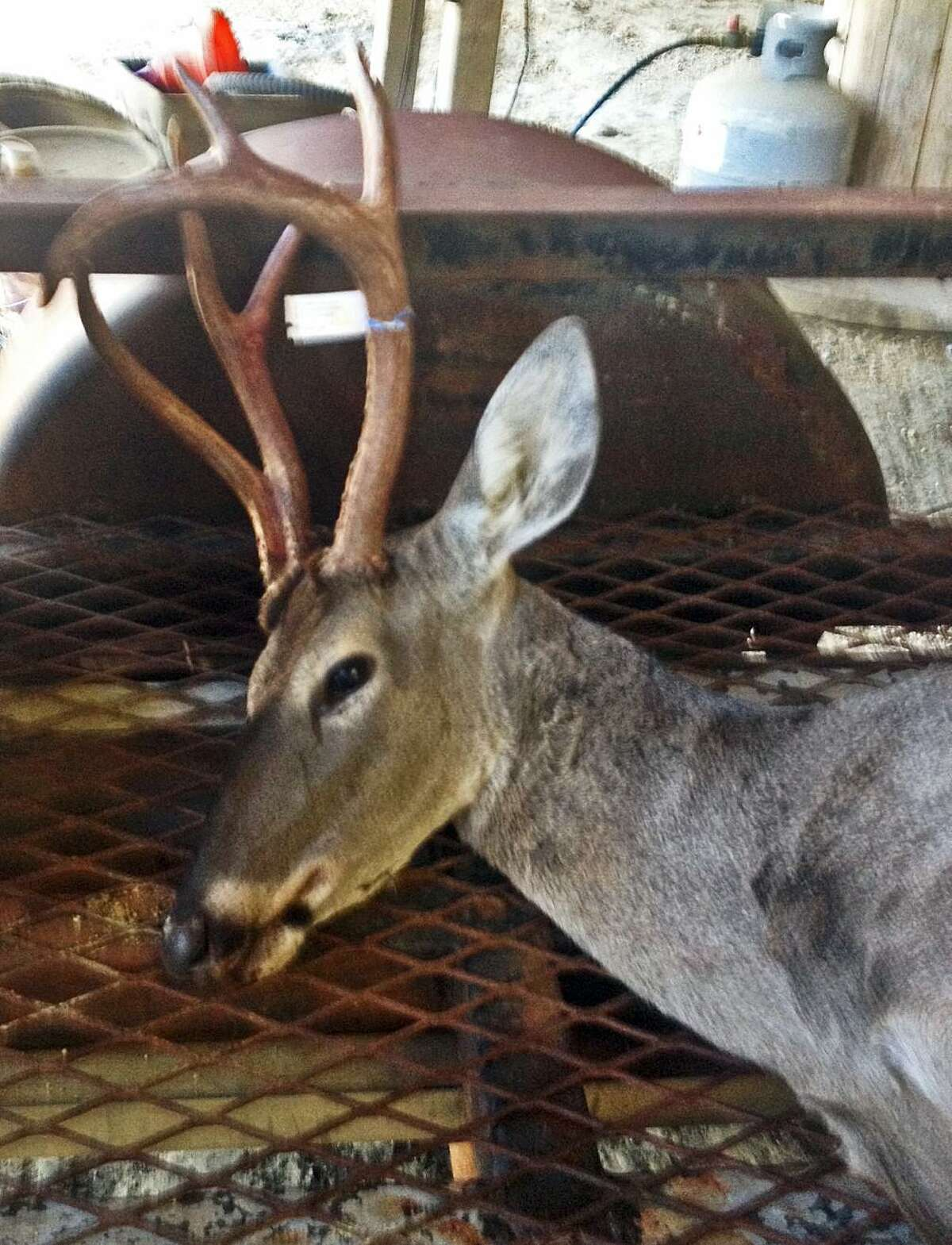 The six-point rack atop the head of this white-tailed deer is nothing to write home about except for the fact that it is a doe sporting these antlers.
