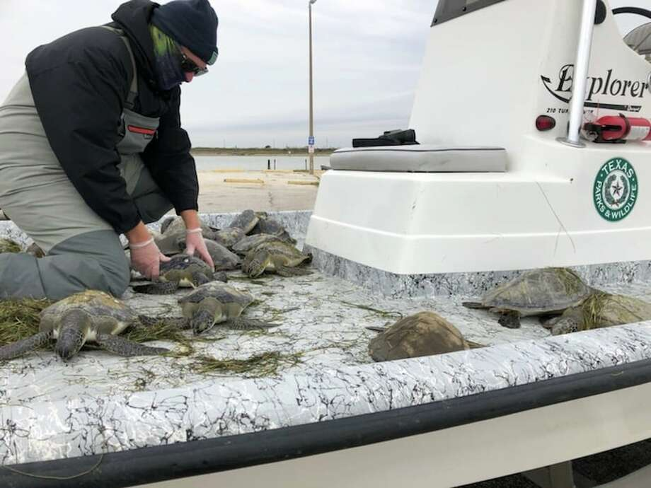 Texas Parks and Wildlife Coastal Fisheries rescue cold-stunned sea turtles that were stranded in Texas waters due to the recent cold temperatures.   Photo: Coastal Fisheries - Texas Parks And Wildlife